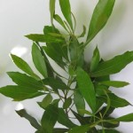 Wax Myrtle Leaves
