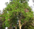 Chinese Tallow Tree/Popcorn Tree