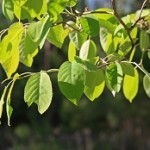 Amelanchier_arborea_leaves-ppc
