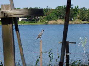 Yellow-crested Night Heron in Bayou Texar